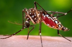 This 2006 photo provided by the Centers for Disease Control and Prevention shows a female Aedes aegypti mosquito in the process of acquiring a blood meal from a human host. On Friday, Feb. 26, 2015, the U.S. government said Zika infections have been confirmed in nine pregnant women in the United States. All got the virus overseas. Three babies have been born, one with a brain defect. (James Gathany/Centers for Disease Control and Prevention via AP)
