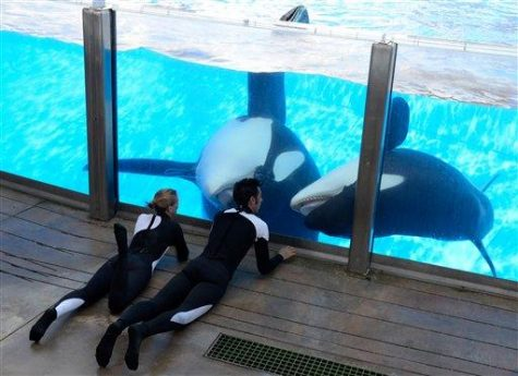 In a March 7, 2011 photo, Kelly Flaherty Clark, left, director of animal training at SeaWorld Orlando, and trainer Joe Sanchez work with killer whales Tilikum and Trua, right, during a training session at the theme park's Shamu Stadium in Orlando, Fla. SeaWorld Orlando officials say Tilikum, the killer whale that drowned a trainer at the facility last year, is slated to perform for the first time since the death, in the park's