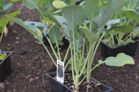 The broccoli waits to be planted. This was just one of many cold weather produce that were planted on April 21, 2017, and that won't be harvested till late spring. (Broadcaster/Echo Rogers)