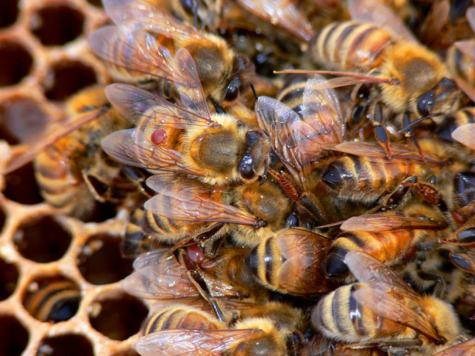 These are honeybees like the ones killed in Wild Honey Hill farm. The boys killed all the bees that were on the farm last season, but the farm is going to start another hive this coming spring. (Brad Smith/CC BY-NC 2.0)