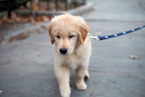 Dogs like people need exercise and this Golden Retriever puppy is no different.  Helping a neighbor by walking their dog is an easy way to maintain safe social distancing and still do them a favor.  (ccho/CC BY-NC-ND 2.0)
