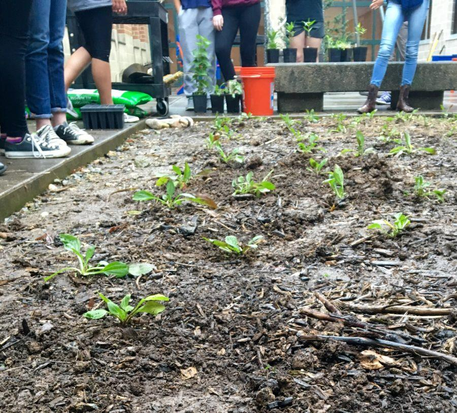HHS Students stand around the plants they just planted on April 29th, 2016. These small plants were put into a foot deep hole then surrounded by the old mulch.