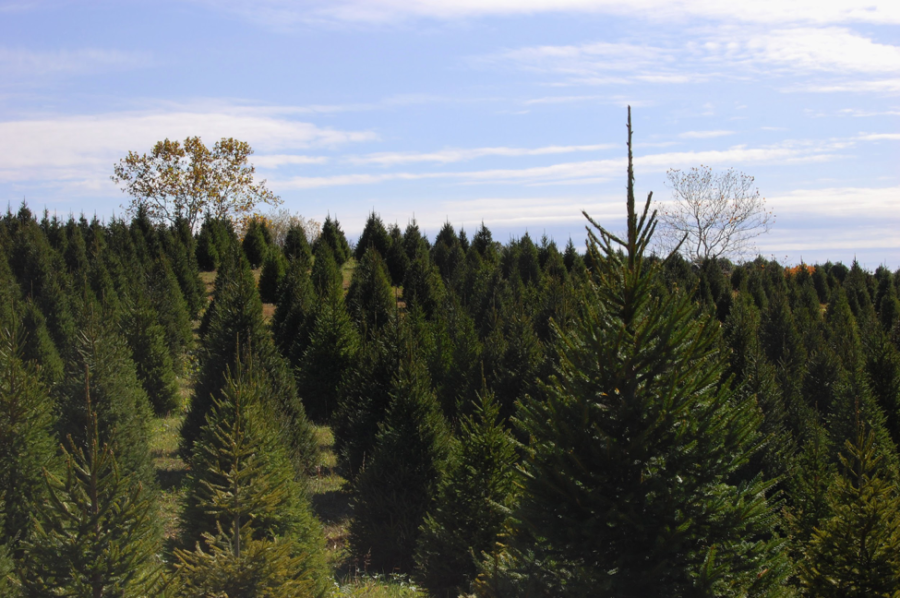 Christmas Tree Genetics works to help farms like this one to produce the best trees possible. Through cross breeding and other methods of genetic manipulation, the organization has already made improvements to the modern Christmas Tree. (Sara Hina/CC BY-NC-ND 2.0)