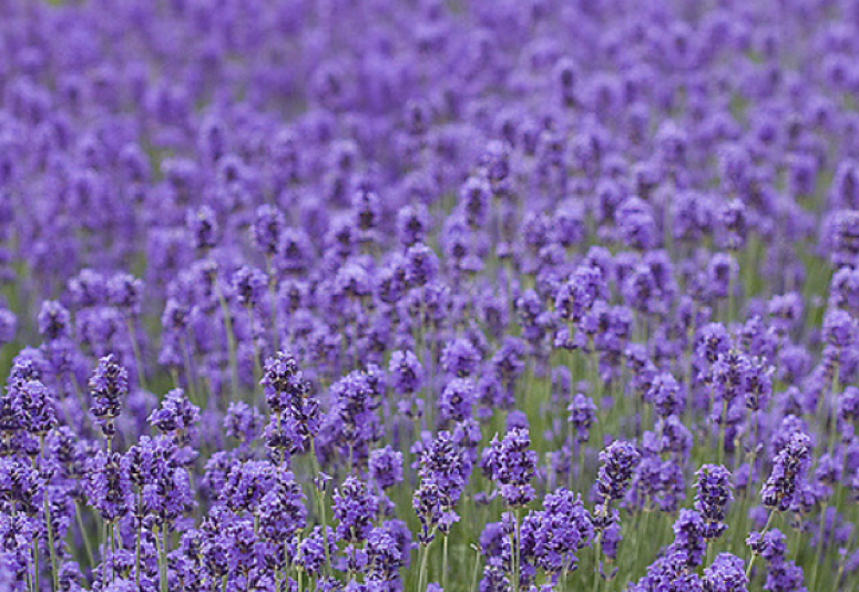 Lavender is a common essential oil used to help battle stress. It can be applied to the feet to help individuals sleep or sniffed to help calm nerves. (Pete Favelle/CC BY-NC 2.0)