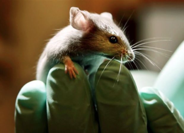 A mouse is one of the most common animals used in the lab. More than one million animals, including mice are killed in labs a year for testing reasons. (AP Images)