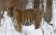 International Tiger Day spreads awareness