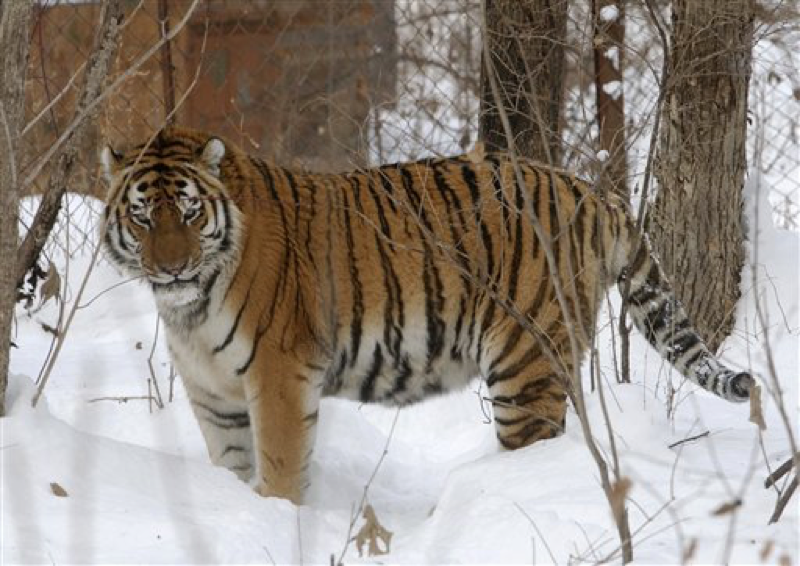 In this Monday, Dec. 5, 2005 file photo Lutiy, an endangered Amur tiger, roams in his cage at the Wild Animals Rehabilitation Center in Sikhote-Alin a mountain range in the Russian Far East. Russia's government and environmental organizations say they will launch a major international campaign to protect the endangered Amur tiger and begin increasing its population. (AP Photo/Burt Herman, File)