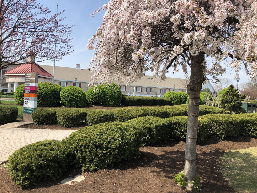 Cherry+blossom+tree+and+bushes+grow+in+front+of+the+Hershey+Motor+Lodge+on+Sunday%2C+April+14%2C+2019.+The+Lodge+has+665+rooms+available+for+guests+to+stay+in+year+round.+%28Broadcaster%2FAshlyn+Weidman%29%0A