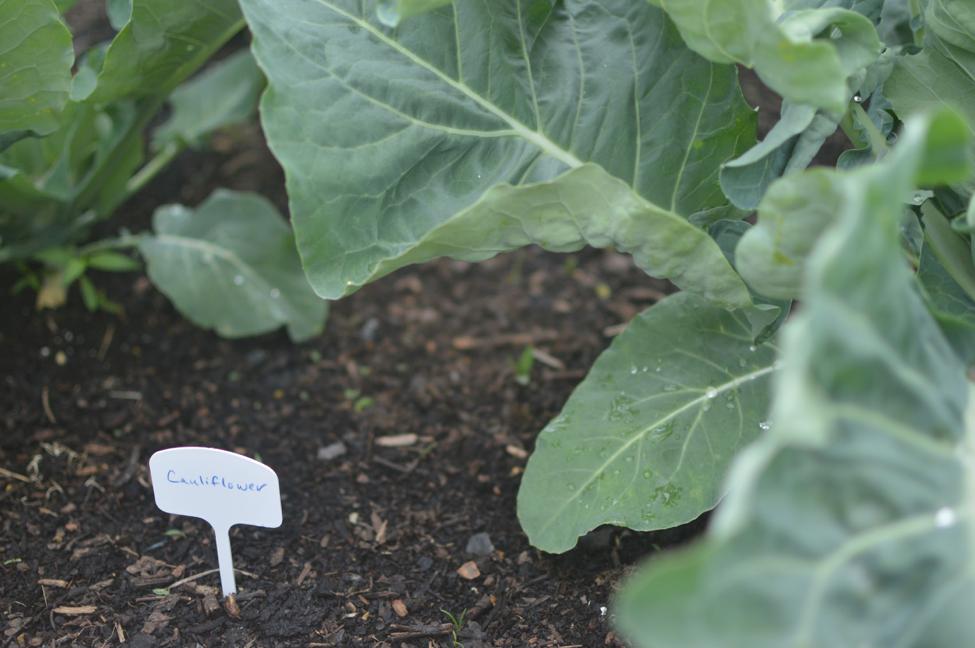 Another+edible+crop+begins+to+grow+in+the+garden%3B+cauliflower.+%28Broadcaster%2FEmma+Quillen%29