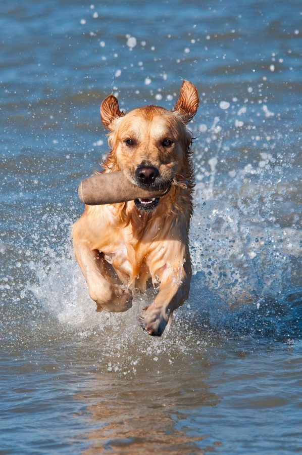 Pistache, a Golden Retriever, bounds through the waves. National Work Like a Dog Day is August 5, 2021. (Thierry Marysael/CC BY-NC-ND 2.0)