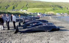 Environmentalists decry slaughter of 1500 White-Sided Dolphins in traditional Faroe Islands hunt